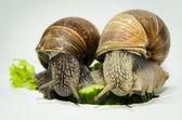 在黄瓜上的蜗牛 — 图库照片