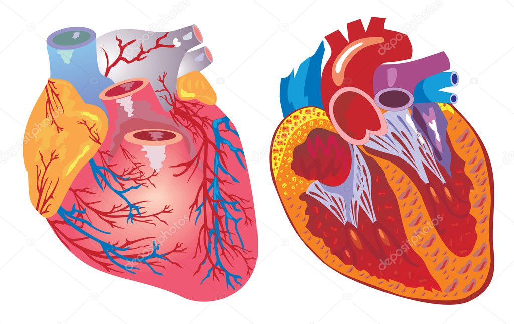 Vector isolated heart and cardiovascular system — Stock Vector #11469874