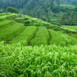 Rice paddy — Stock Photo #11294985