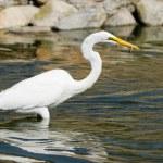 Great White Egret — Stock Photo #11083464