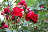 Red rosebush — Stock Photo