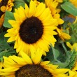 Sunflowers — Stock Photo #11556314