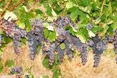 Umpqua Grapes — Stock Photo