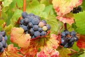 Pinot Noir — Stock Photo