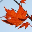 Fall Leaves — Stock fotografie #11421023