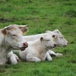 A white cow — Stock Photo #11750311