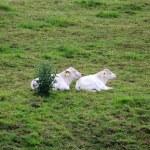 A white cow — Stock Photo #11750626