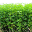 Stock Photo: Hemp plant