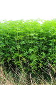 A hemp plant — Stock Photo