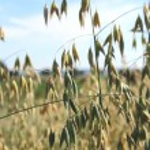 A grain field — Stock Photo #11809832