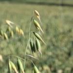 A grain field — Stock Photo #11812868