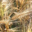 A grain field - Stock Photo
