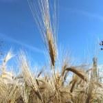 A grain field — Stock Photo