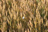 A grain field — Stock Photo