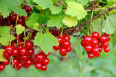 Ripe berries on a branch — Stock Photo