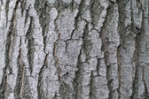 Ash tree bark textural background — Stock Photo