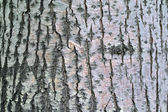 Linden tree bark textural background — Stock Photo