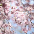 Japanese Sakura cherry blossoms in full bloom - Stock Photo