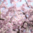 Close-up depth of field image of Japanese Sakura cherry blossoms in full bloom - Stock Photo