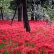 Royalty-Free Stock Photo: Forest full of red flowers on the ground