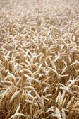 Golden colored wheat grains in sunlight — Stock Photo