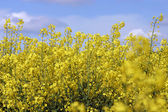 Bright blooming rape seed against a blue sky — Stock Photo