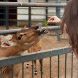 Girl feeding a young deer — Stock Photo