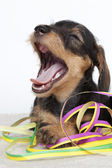 Puppy yawning while playing with serpentines — Stock Photo