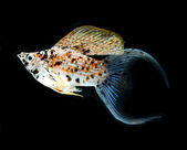 Molly fish crescent tailed isolated on black background — Stock Photo