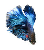 Betta pet fish, Siamese fighting fish — Stock Photo