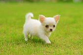 Chiwawa white puppy on grass — Stock Photo