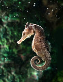 Seahorse (Hippocampus) swimming on black. — Stock Photo