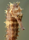 Close up of seahorse Hippocampus — Stock Photo