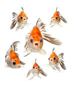 Goldfish isolated on white background — Stock Photo