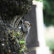 Portrait of a Grey Squirrel — Stock Photo