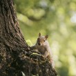 Portrait of a Grey Squirrel — Stock Photo #11291653