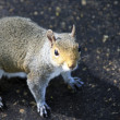 Stock Photo: Portrait of a Grey Squirrel