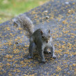 Portrait of a Grey Squirrel — Stock Photo #11291785