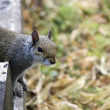 Portrait of a Grey Squirrel — Stock Photo #11291808