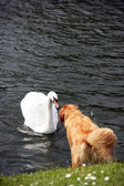 Swan and Dog — Stock Photo