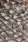 Texture cortex of a palm tree — Stock Photo