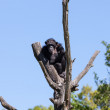 Chimp monkey — Stock Photo #11435999
