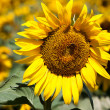 Sunflower on a meadow with bee - Stock Photo