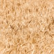 Grain wheat field background - Stock Photo