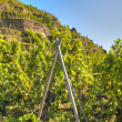 Terraced Vineyard of Ampuis — Stock Photo #10849135