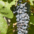 Grapes for Cote Rotie — Stock Photo #10849197
