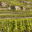 Terraced Vineyard of Ampuis — Stock Photo #10849263