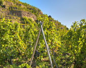 Terraced Vineyard of Ampuis — Stock Photo