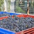 Stock Photo: Red Wine Grapes on Truck