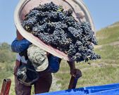 Harvesting the Grapes — Stock Photo